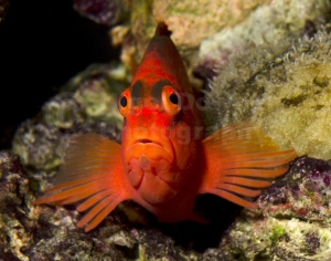 ML-0110 Scarlet hawkfish or Flame hawkfish