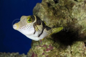 ML-0112 Sharpnose saddleback puffer fish