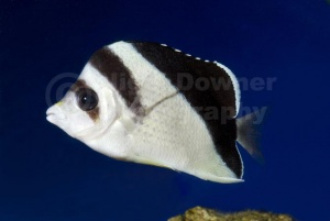 ML-0113 Burgess or Black-barred butterflyfish