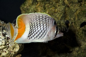ML-0114 Pearlscale or Yellow-tailed butterflyfish