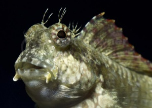 ML-0115 Jewelled or Lawnmower blenny