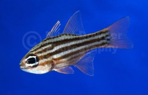 ML-0116 Ochre-striped cardinalfish