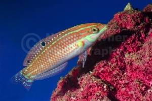 ML-0117 Green face wrasse