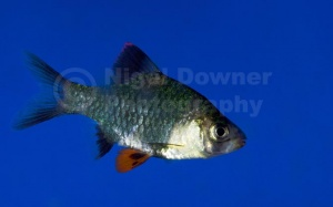 ML-0118 Green tiger barb