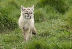 MA-0017 Corsac or Steppe fox
