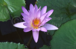 FP-0014 Water lily
