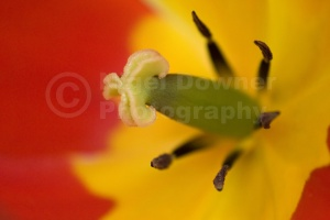 FP-0015 Tulip stamens abstact