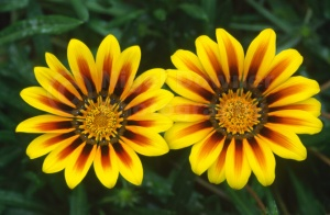 FP-0020 Gazania 'New Magic'