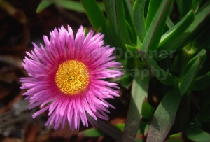 FP-0021 Red hottentot fig flower