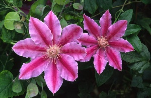 FP-0027 Clematis 'Dr Ruppel'