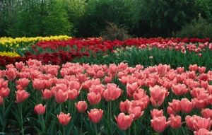 FP-0033 Pink, red and yellow tulips