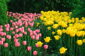 FP-0035 Pink and yellow tulips