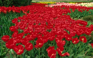 FP-0036 Bright red tulips