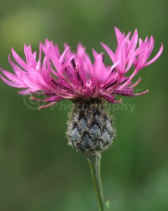 FP-0052 Greater knapweed