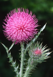 FP-0053 Musk thistle