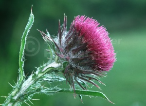 FP-0054 Musk thistle