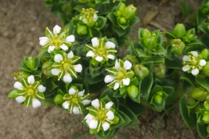 FP-0060 Sea sandwort