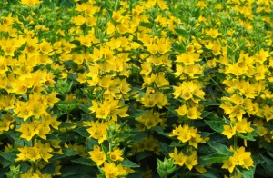 FP-0062 Yellow loosestrife