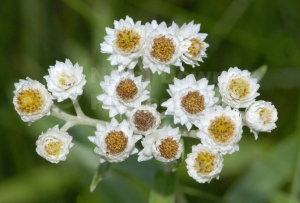 FP-0066 Pearly everlasting