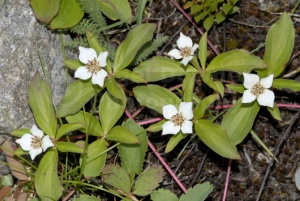 FP-0068 Bunchberry or Dwarf dogwood
