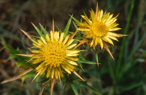 FP-0073 Carline thistle