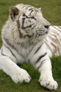 MA-0024 White Bengal tiger