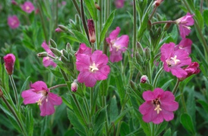 FP-0080 Great hairy willowherb