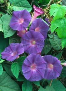 FP-0084 Morning glory