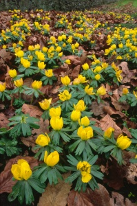 FP-0088 Winter aconite