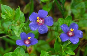 FP-0092 Blue pimpernel