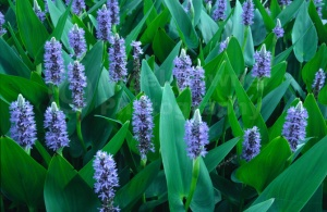 FP-0107 Pickerel weed