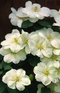 FP-0112 Clematis 'Wisley Cream'