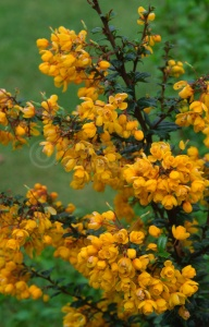 FP-014 Barberry