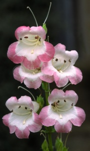 FP-0116 Penstemon