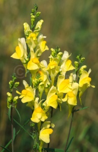 FP-0124 Toadflax