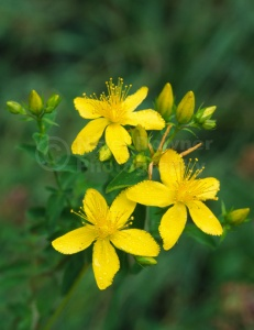 FP-0126 Perforate St John's wort