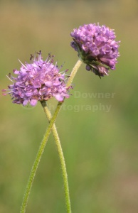 FP-0129 Small scabious