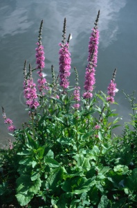FP-0133 Purple loosestrife