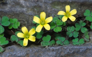 FP-0134 Procumbant yellow sorrel