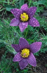 FP-0135 Pasqueflower