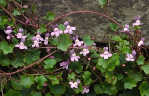 FP-0140 Ivy-leaved toadflax