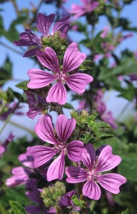 FP-0153 Common mallow