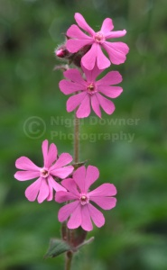 FP-0167 Red campion