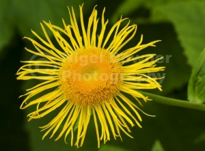 FP-0196 Inula magnifica flower