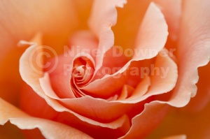 FP-0210 Rose 'Just Joey' creative abstract