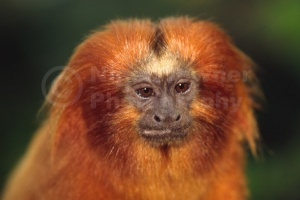 MA-0040 Golden lion tamarin