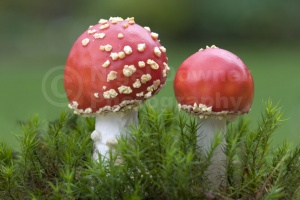FU-0022 Young fly agaric fungus