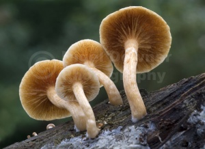 FU-0023 Common rustgill or Freckled flame-cap fungus
