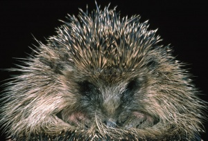 MA-0046 Hedgehog