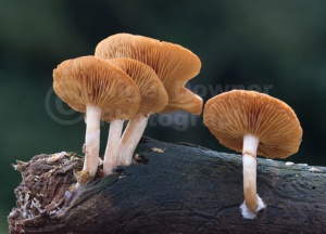 FU-0025 Common rustgill or Freckled flame-cap fungus